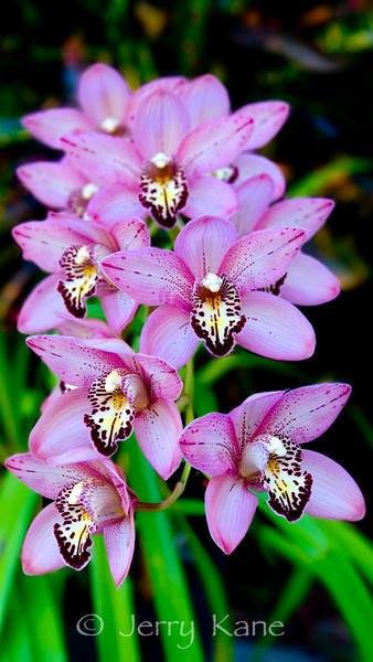 Orchids, Hawaii