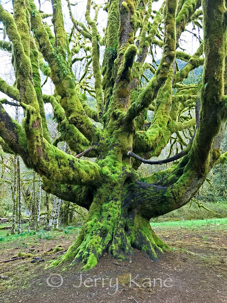 Dead tree covered in moss - Olympic Peninsula, WA