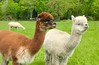 Happy alpacas on San Juan Island, Washington.