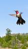 Ruby-throated Hummingbird (Archilochus colubris)  - Converse County, Wyoming