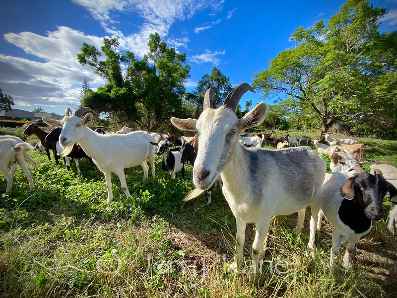 Happy Hawaiian Goats - Puuanahulu, Big Island, Hawaii