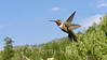 Ruby-throated Hummingbird (Archilochus colubris)  - Converse County, Wyoming