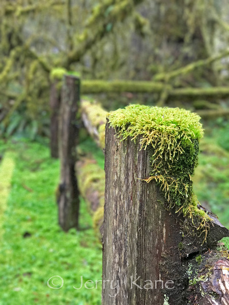 Abandoned fence with moss - Olympic Peninsula, WA