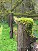 Abandoned fence with moss - Olympic Peninsula, WA