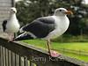 Sea Gulls - Cannon Beach, OR