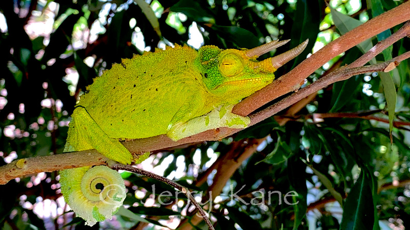 Jackson's Chameleon napping on a tree branch