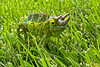 Jackson's Chameleon on my front lawn.
