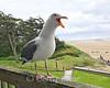Sea Gull - Cannon Beach, OR