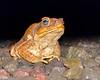 Cane toad, aka bufo toad, (Rhinella marina) - Puuanahulu, Big Island, Hawaii