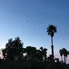 Turkey vultures coming to roost in trees at Callville Bay campground