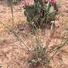 Desert Trumpet and Beaver Tail Prickly Pear in bloom