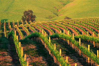 Vineyard at sunset. Napa Valley, California. USA.