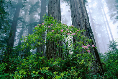 Coast Redwood (Sequoia semperviren) grove and Rhodedendron (Rhododendron macrophyllum), Redwood National Park, California