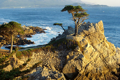 LONE CYPRESS TREE  (Taxodium sp.); PEBBLE BEACH, CALIFORNIA