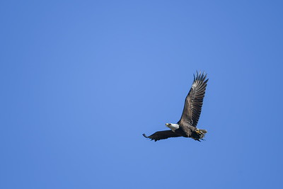 Anahuac Yesterday:  Bald Eagle in Flight with Kill (Am Coot)