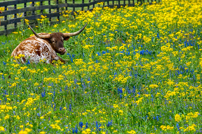 Texas Longhorn in Goldenrods and Bluebonnets