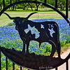 The Bull & Bluebonnets