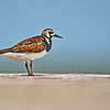 """T"" is for Turnstone, as in Ruddy Turnstone"