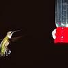 Ruby-throated Hummingbird at Kleb Woods