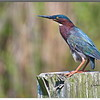 Green Heron at Anahuac