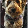 Tanner, my Silky Terrier