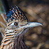 Stare-down with a Roadrunner