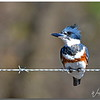 Belted Kingfisher.....female,  somewhere in the Katy Prairie