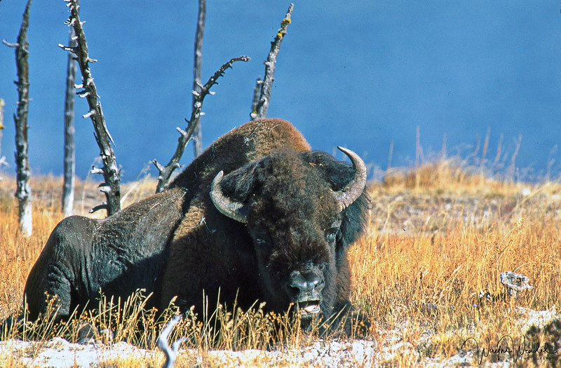 """Yellowstone Bison """"Don't Mess With Me"""""""