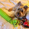 """T"" is for Tanner, the ""T"" the Silky Terrier, and his ""T"" for Toys"