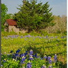 Lavaca County Bluebonnets