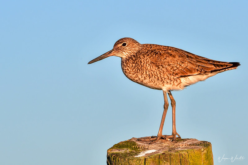Willet Fly or Willet Stay