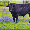 Bull in Bluebonnets