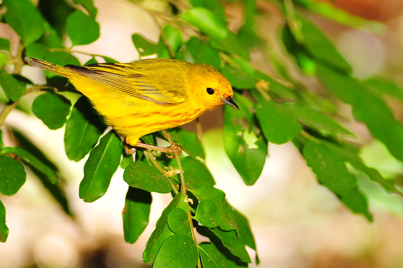 """""""Y"""" is for Yellow Warbler"""