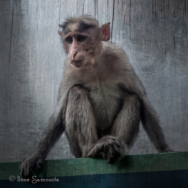 V for the challenge. This monkey was seen in Bandipur, India.