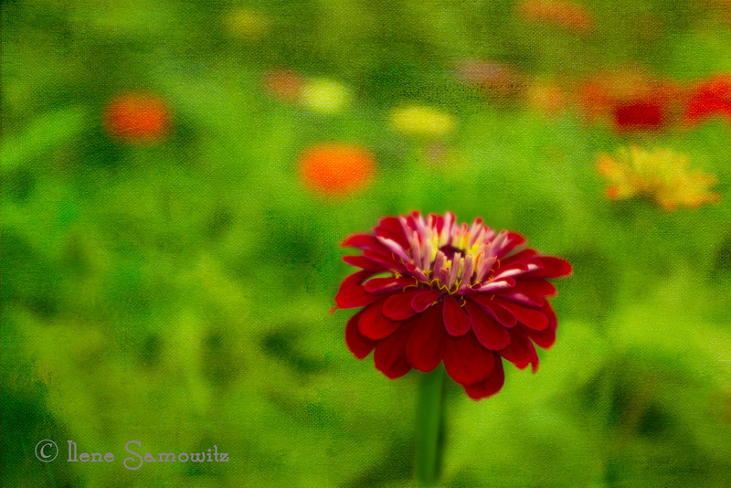 1-4-14 Z is for Zinnia. I added a texture to this shallow depth of field image. <br /> <br /> Thanks Donna for suggesting this fun challenge!  It has been terrific for the Dailies.