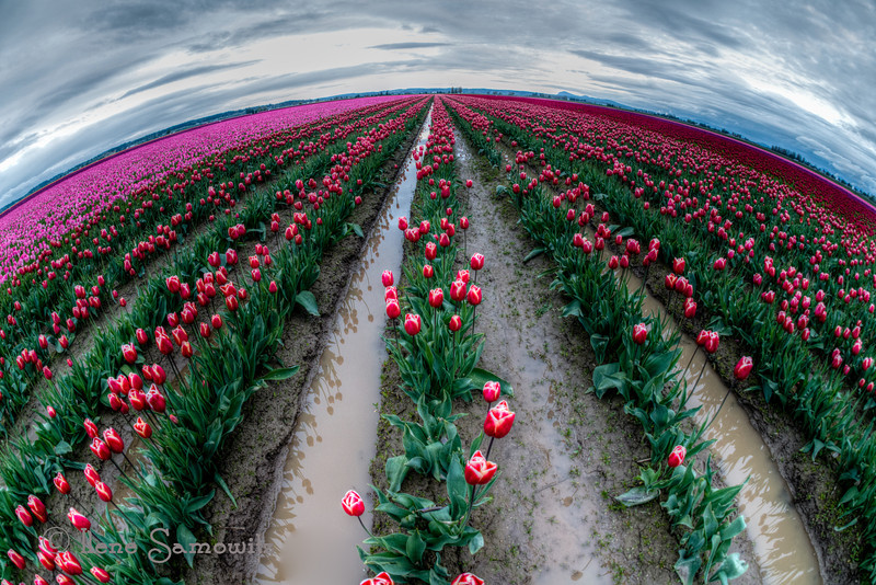 4-22-13 Tulip Planet taken yesterday in the Skagit (Washington).