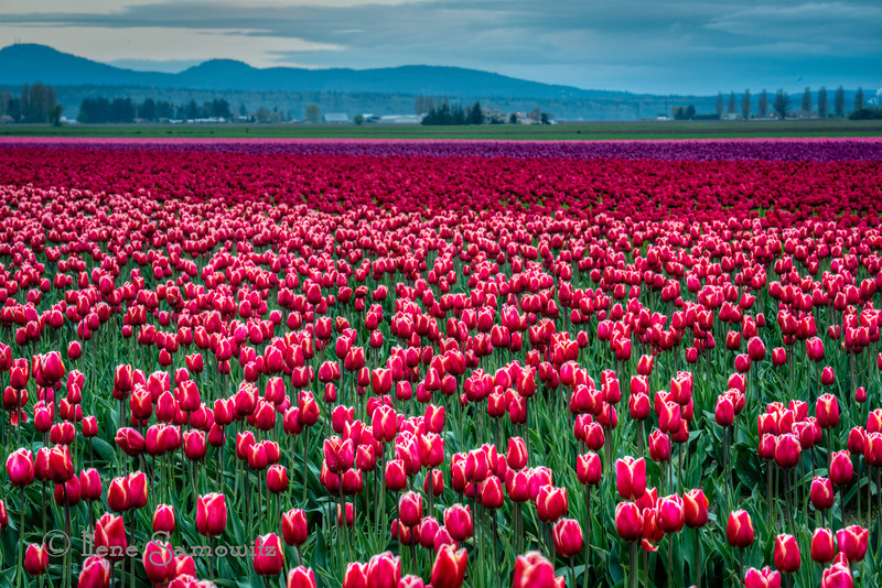 4-24-13 Another image from the Skagit.  A beautiful field of tulips.