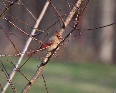 Female Cardinal on a peach tree. Lancaster, MA.