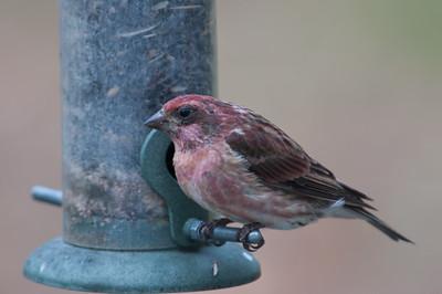 Purple Finch, Lancaster, MA