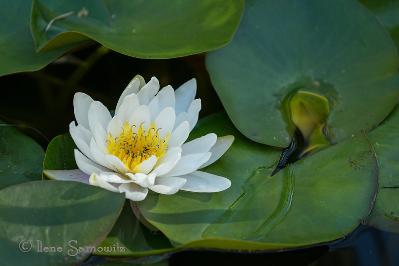 8-10 My birthday photo.  I had the good fortune to be able to photograph this water lily at one of my favorite Wild Bird Stores located in Discovery Bay on the Olympic Peninsula.  I used the rented Nikon 200 f4 micro to take it.