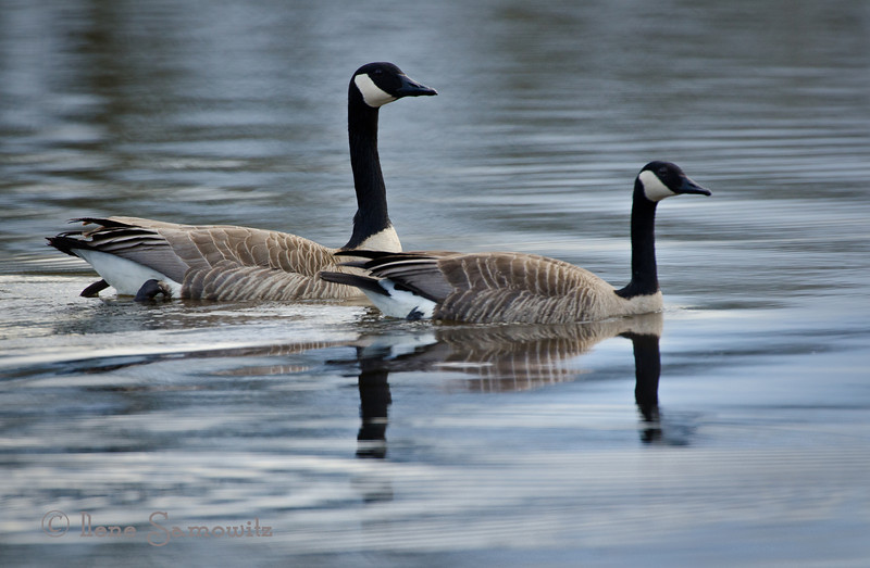 A Pair of Geese<br /> Ridgefield National WIldlife Reserve<br /> Ridgefield, Washington