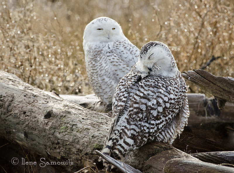A Snowy Owl  Pair in Early Morning Light<br /> Boundary Bay<br /> Bristish Columbia, Canada