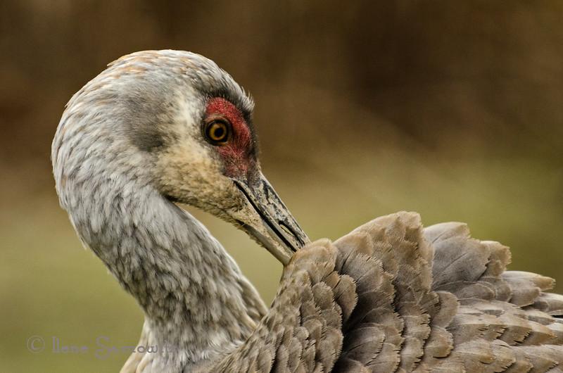 Preening Sandhill Crane<br /> Reifel Migratory Bird Sanctuary<br /> British Columbia, Canada