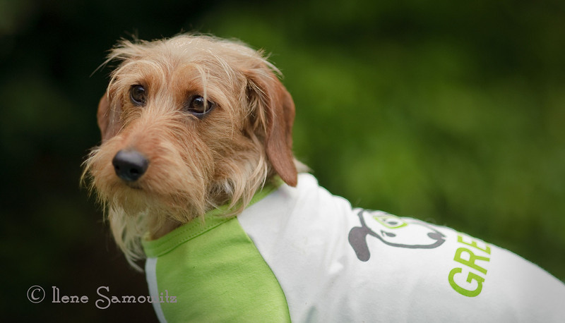 My dog Maggie Mae in her Go Green T-Shirt.  Paul let me know that my images are only showing up small.  I will need to figure out how the camera awesome and iPad uplads are working.  I wonder if I can replace the images later with an image with more pixels.