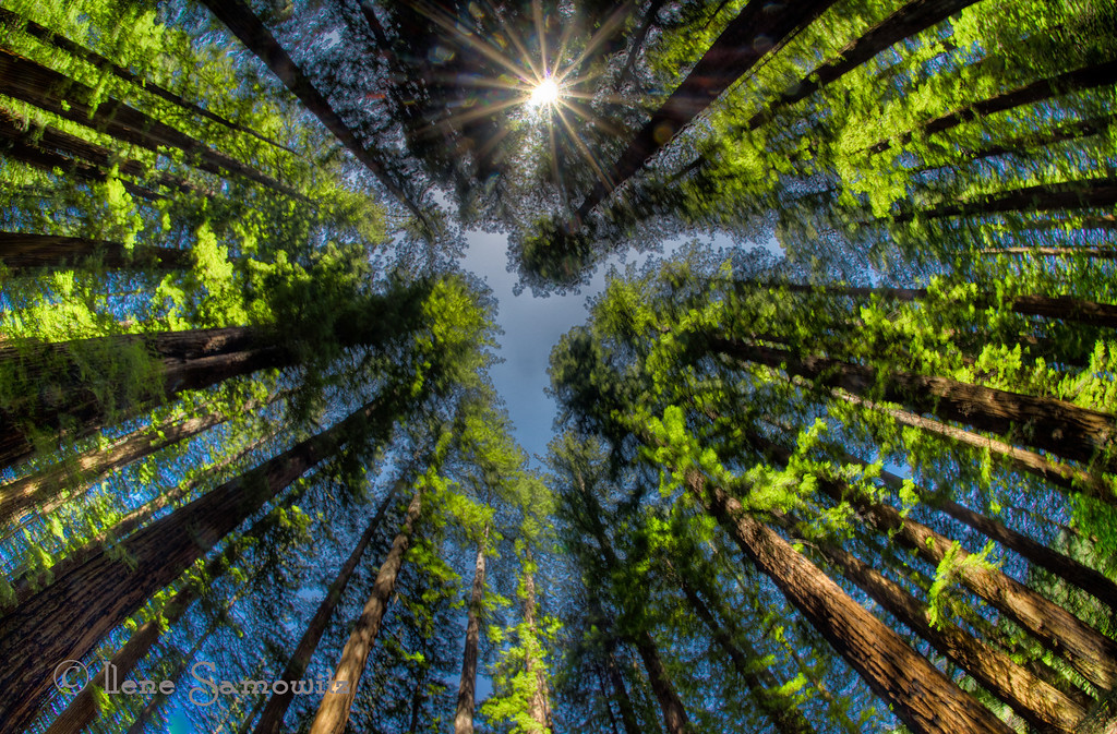 Fisheye View of the California Redwoods<br /> Richardson Grove State Park, California