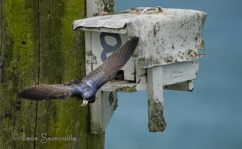 7-30-12 Purple Martin Leaving Nest Box at Bay Ocean, Oregon.  There is a small colony with around a dozen boxes off the small spit at Bay Ocean in Tillamook Bay.  I got a chance to photograph them for a while on Saturday.  This was taken with a 2x doubler on a 500 F4 lens and a D7000 (1.5 crop factor) for an effective focal length of 1500.  I also did a little cropping of the photo.  It was tricky shooting at such high magnification with the wind (although it was not really blowing by ocean standatds).