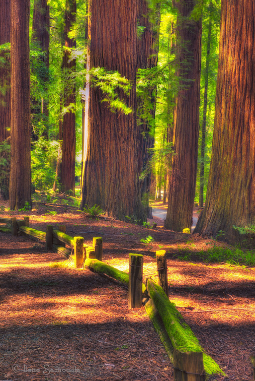 5-26-12 Sidelit Redwoods- shot  in Richardson State Park, California
