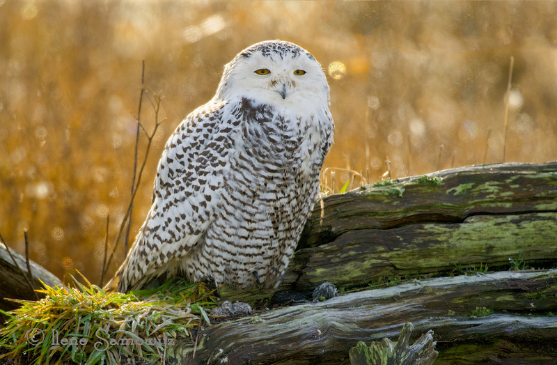 Snowly Owl in Morning Light
