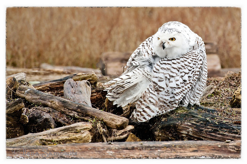 Boundary Bay Snowy Owl<br /> British Columbia