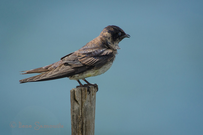 7-31 Purple Martin Sitting on the Post of the Bay...This martin was enjoying this lookout perch.  I was able to shoot video with my DSLR of this bird preening.  This post came out of Tillamook Bay right near the colony of houses.